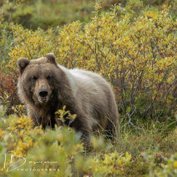 Denali Grizzly Bear