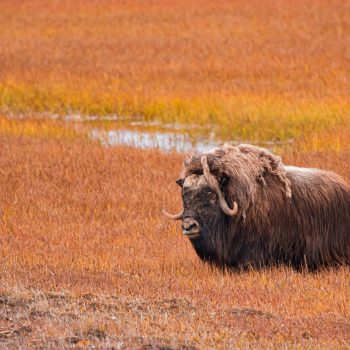 Musk Oxen  in Fall Tundra