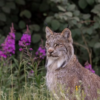 Lynx in Fireweed