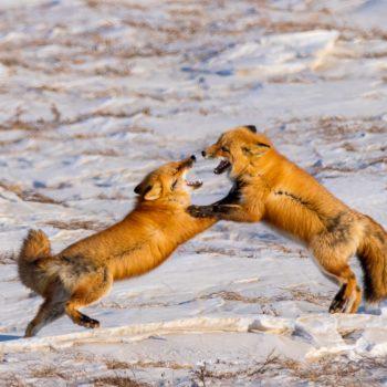 Red Fox Fighting