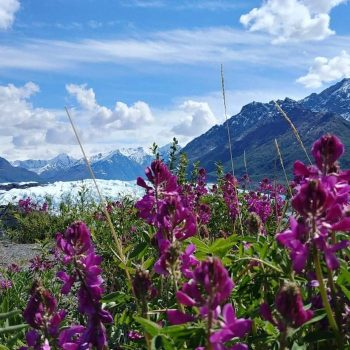 Flowers at Matanuska Glacier