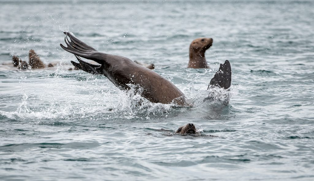 Sea lions jump and play in the water near the Inian Islands, a secret Alaska stop