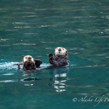 Sea Otters in Valdez