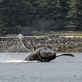 Humpback Whale doing back stroke