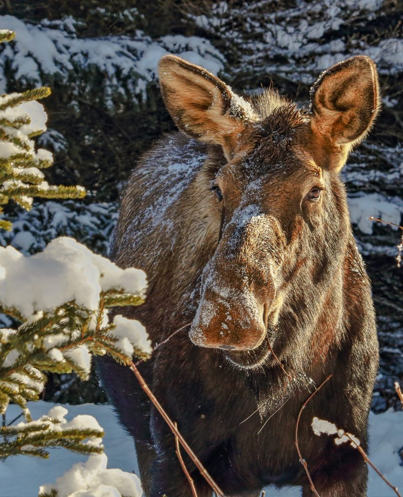 A cow moose with snow in its hair surrounded by snow-covered trees
