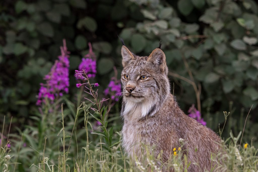 lynx sits amid blooming fireweed