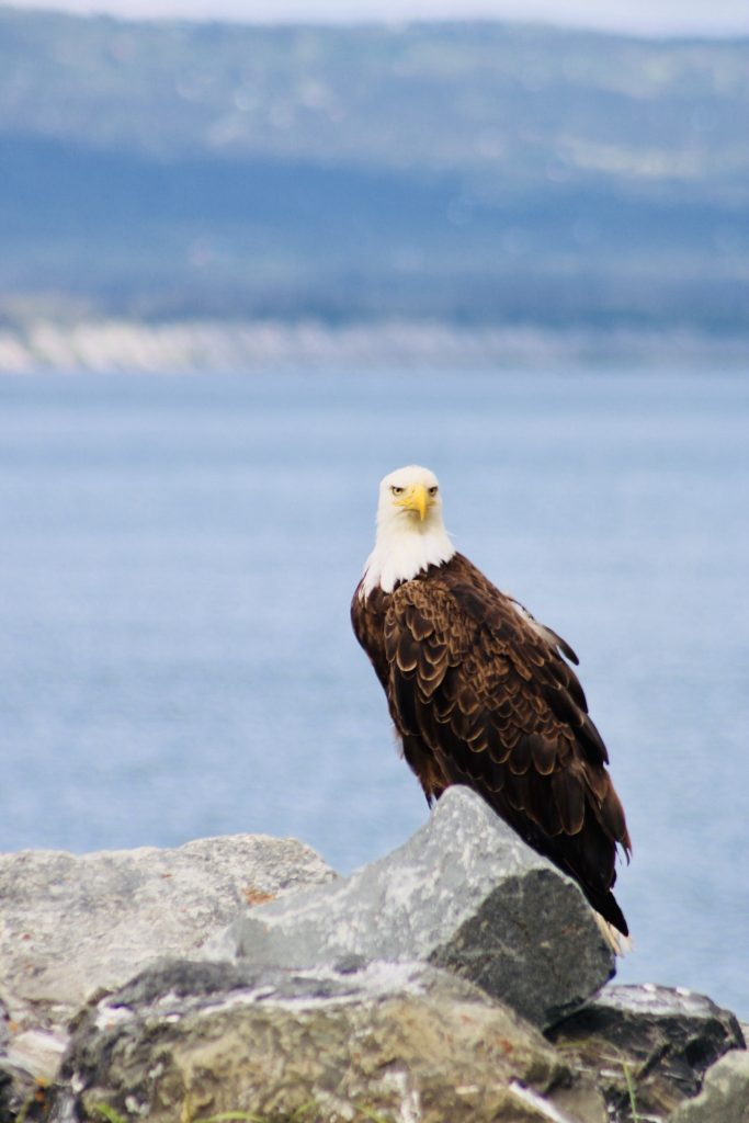 Bald eagle looks past the camera while perched on a rocky shoreline, ocean behind