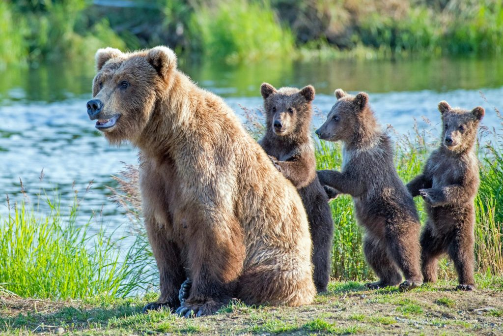 Three bear cubs lined up behind their mother by a river during summer