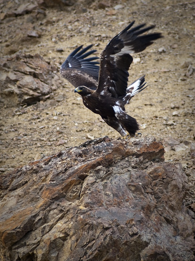 A golden eagle about to take flight