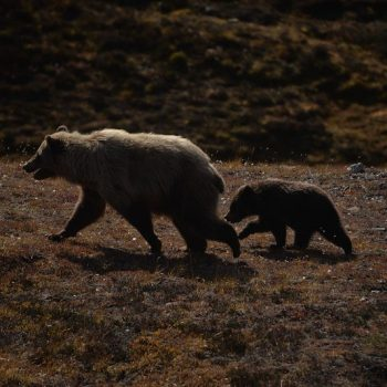 Mama Griz and Cub
